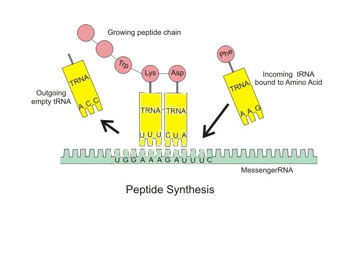 ribosomal rna sythesis Ribosomal rna (rrna) nucleolusescherichia coli rrna molecules are used as size standards they have sedimentation coefficients of 5s, 16s, and 23s eukaryotic rrna molecules are generally larger, and there are four of them.